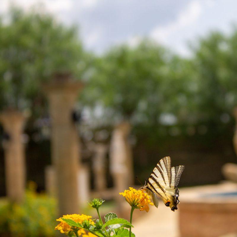 le calie agriturismo ulivi secolari acquarica del capo presicce farfalla francese